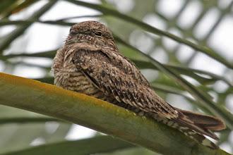 Photo: Lesser Nighthawk