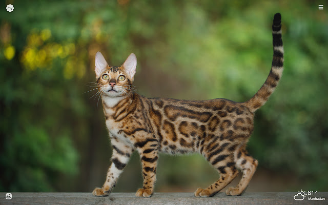 My Bengal Cat HD Wallpapers New Tab