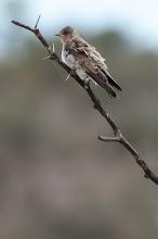 Photo: Northern Rough-winged Swallow (Graukehlschwalbe); San Miguel de Allende, GTO