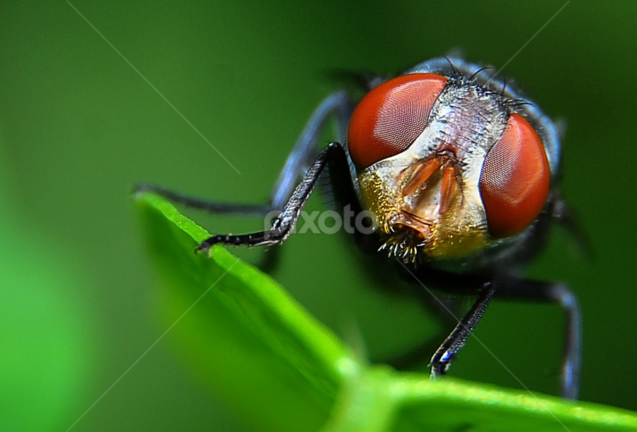 Fly by Mat Sham - Animals Insects & Spiders ( macro, fly, good, close up, animal )