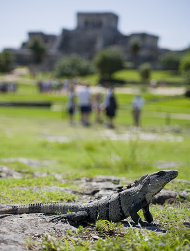 Cruise-Tulum8 - Roaming iguanas compete with ancient temples for attention at the Maya ruins of Tulum.