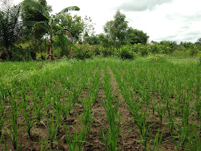 Photo: Kokou Joseph Adokanou's demonstration plots. Photo by Devon Jenkins, Togo, March, 2014.