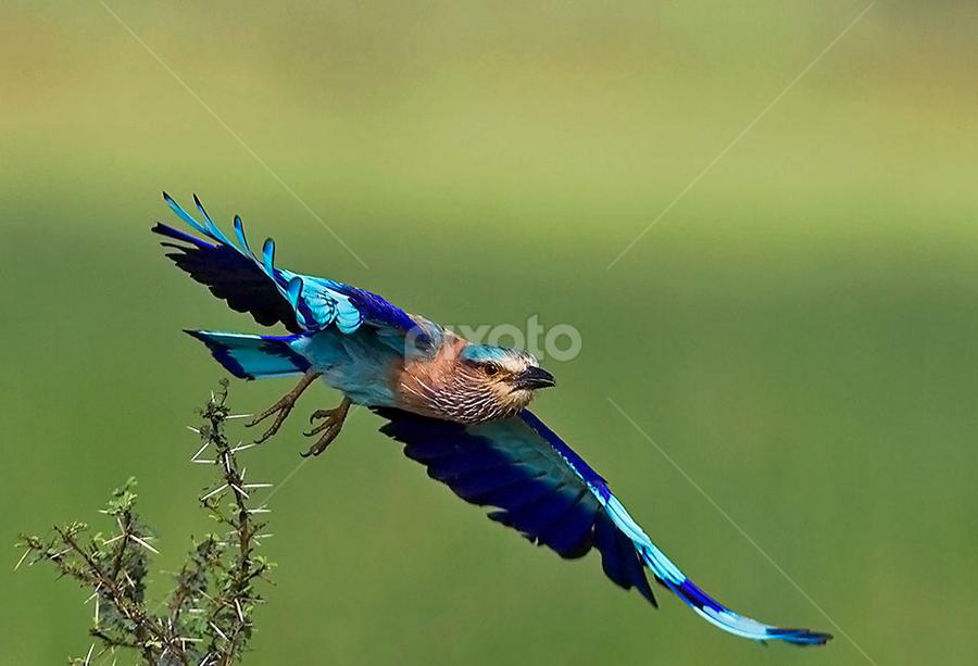 INDIAN ROLLER TAKES TO FLIGHT by Mohan Munivenkatappa - Animals Birds