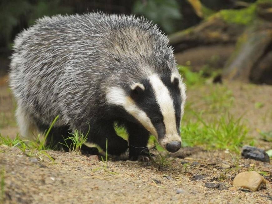 http://animalsadda.com/wp-content/uploads/2013/05/Badger.jpg