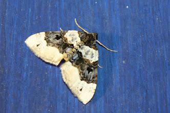 Photo: Cosmorhoe ocellata  Lepidoptera > Geometridae