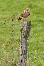 Photo: Peregrine Falcon (Wanderfalke); Wedel, DE