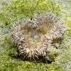 Daisy anemone. Actinia solar
