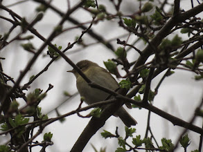Photo: Middle Pool The Willow Warbler at Middle Pool: rather little to enable separation from Chiffchaff on this view. I could point to the strength of the mark behind the eye; the just visible longish wings; and the rather pale bill, but ... It was helpfully singing when I took the photo. (Ed Wilson)