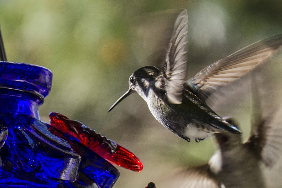 Food by Johannes Bichmann - Animals Birds ( nature, delicate, california, beauty, hummingbirds )