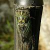 Linne's Annual Cicada