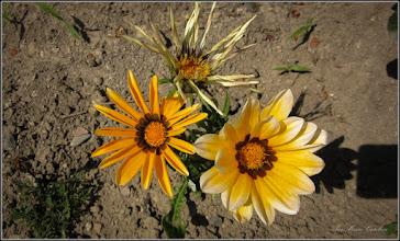 Photo: Floarea comoară, Gazania-margaretă (Gazania spp) - din Turda, Str. Salinelor, Nr.15 - 2019.06.08