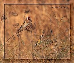 Photo: Steglits - Carduelis carduelis - European Goldfinch NF Photo 111119, Lillsjön http://nfbird.blogspot.com/2011/11/birds-this-week.html