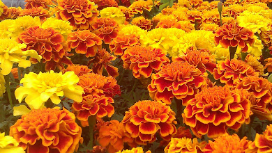 Photo: Zinia or Marigold? - Colbrook Nurseries