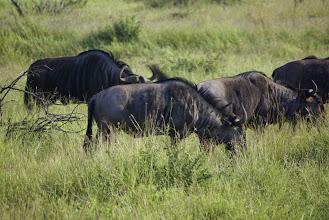 Photo: Wildebeest