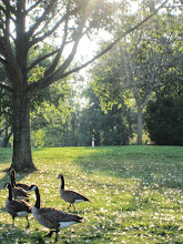 Photo: Canadian geese walking among feathers under sunlight at Carriage Hill Metropark in Dayton, Ohio.
