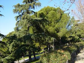 Photo: Vista para diferenciar los cedros de los pinos