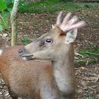 Philippine brown deer