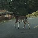 White-tailed Deer, Piebald variation