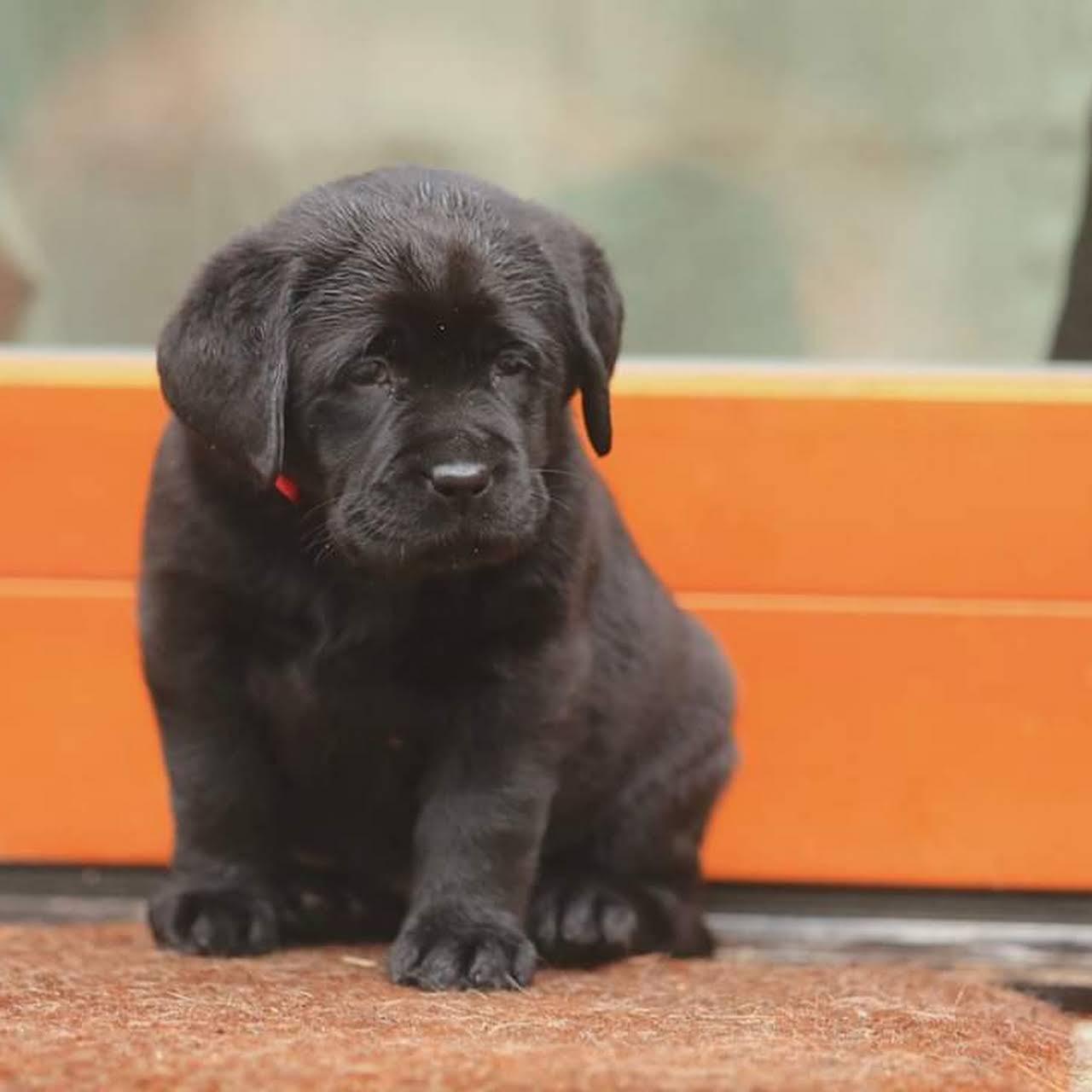 Sami S Pets Service Labrador Golden Retriever Shihtzu Beagle