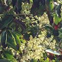Medrona in bloom