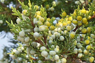 Photo: A juniper berry is the female seed cone produced by the various species of junipers. It is not a true berry but a cone with unusually fleshy and merged scales, which give it a berry-like appearance. Unlike the separated and woody scales of a typical pine cone, those in a juniper berry remain fleshy and merge into a unified covering surrounding the seeds. The berries are green when young, and mature to a purple-black colour over about 18 months in most species.