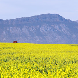 Canola fields in Tulbagh by Hendriette Reyneke - Landscapes Prairies, Meadows & Fields (  )