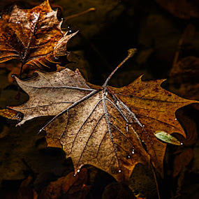 Floating Fall Leaves by Eugene Linzy - Nature Up Close Leaves & Grasses ( water, fall leaves on ground, autumn, fall, creek, floating, leaf, leaves )