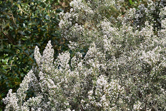 Photo: Erica arborea, erica, tree heath
