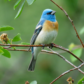 Lazuli Bunting by Nick Swan - Animals Birds ( lazuli bunting )