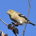 American Goldfinch (eating alder seeds)