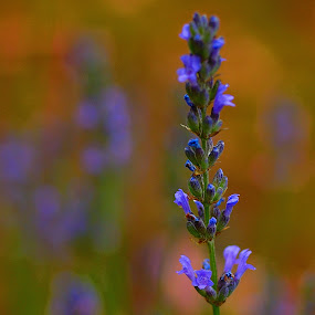 Lavanda by Daniel Sapag - Flowers Flowers in the Wild
