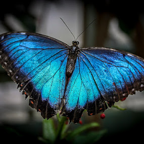Blue Butterfly by Ruth Sano - Animals Insects & Spiders ( colorful, blue, photoraphy, butterfl,  )