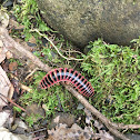 Red-Sided Flat Millipede