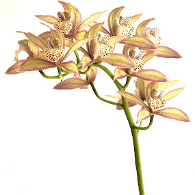 Cymbidium traceyanum X by Simon Joubert - Flowers Single Flower ( orchid, cymbidium, traceyanum )