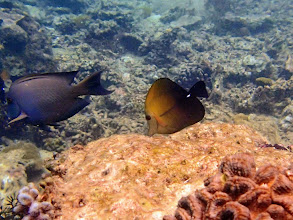 Photo: Zebrasoma scopas (Scopas Tang), Miniloc Island Resort reef, Palawan, Philippines.