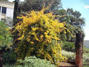 Photo: Ora-Pro-Nobis de folhas douradas, também conhecida como Trepadeira Limão Aurea. - Trepadeira espinhenta, muito rústica, que suporta longo período de estiagem, devendo ser plantada em local com muito insolação, flores brancas perfumadas. Plantada sobre muros, impede  a invasão do terreno. Folhas e flores comestíveis.