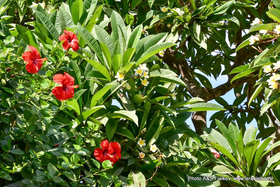 Бахайские сады, плюмерия