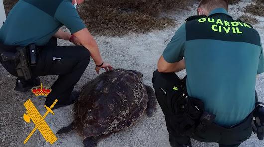 Imagen de archivo de una tortuga boba varada en la playa.