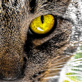 Direct Eye Contact by Grayson Boxx - Animals - Cats Portraits (  )