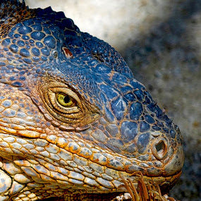 Iguana by Inge Hawkins - Animals Reptiles ( #lizards_and_reptiles, #florida, #nature, #animal,  )