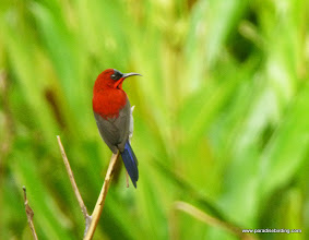 Photo: Crimson Sunbird, Labuk Bay