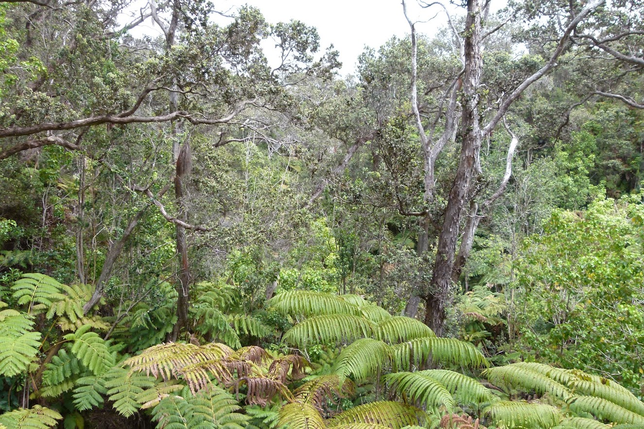 Hapu'u ferns and Ohia Lehua trees