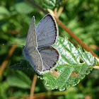 Eastern Short Tailed Blue