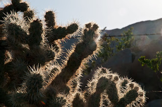 Photo: Cholla cactus