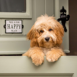 In a happy place by Tony Walker - Animals - Dogs Puppies ( cockapoo, stable door, happy place, puppy, paws, cute, dog )