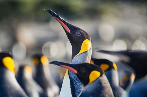 Get up close and personal with king penguins on your Ponant cruise to Antarctica.