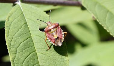 Photo: Carpocoris purpureipennis  Heteroptera > Pentatomidae