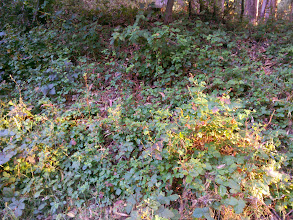 Photo: Here at the edge of the allelopathic zone, we find the native blackberry competing with poison oak.