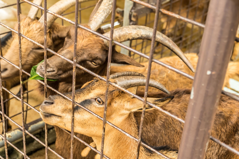 シンガポール動物園 ヤギ