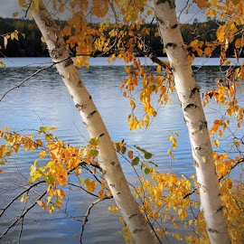 Autumn Birch by Lena Arkell - Nature Up Close Trees & Bushes ( gold, orange, white, fall, birch, tree, autumn, lake,  )